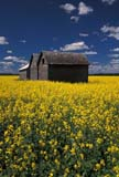 CAL FAR MIS SK     1704606D  VTGRANARIES IN CANOLA FIELDERWOOD                            0717© CLARENCE W. NORRIS      ALL RIGHTS RESERVEDBULLETINS;BUILDINGS;CAL_FARMING;CALENDARS;CANOLA;CROPS;ERWOOD;FARMING;GRANARIES;PLAINS;PRAIRIES;RURAL;SASKATCHEWAN;SCENES;SK_;STRUCTURES;SUMMER;VTLLONE PINE PHOTO              (306) 683-0889