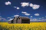CAL FAR MIS SK     1704607DGRANARIES IN CANOLA FIELDERWOOD                            0717© CLARENCE W. NORRIS      ALL RIGHTS RESERVEDBUILDINGS;CAL_FARMING;CALENDARS;CANOLA;CROPS;ERWOOD;FARMING;GRANARIES;PLAINS;PRAIRIES;RURAL;SASKATCHEWAN;SCENES;SK_;STRUCTURES;SUMMERLONE PINE PHOTO              (306) 683-0889