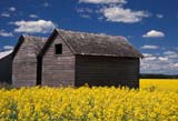 CAL FAR MIS SK     1704609DGRANARIES IN CANOLA FIELDERWOOD                            0717© CLARENCE W. NORRIS      ALL RIGHTS RESERVEDBUILDINGS;CAL_FARMING;CALENDARS;CANOLA;CROPS;ERWOOD;FARMING;GRANARIES;PLAINS;PRAIRIES;RURAL;SASKATCHEWAN;SCENES;SK_;STRUCTURES;SUMMERLONE PINE PHOTO              (306) 683-0889