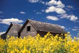 CAL FAR MIS SK     1704619DGRANARIES IN CANOLA FIELDERWOOD                            0717© CLARENCE W. NORRIS      ALL RIGHTS RESERVEDBUILDINGS;CAL_FARMING;CALENDARS;CANOLA;CROPS;ERWOOD;FARMING;GRANARIES;PLAINS;PRAIRIES;RURAL;SASKATCHEWAN;SCENES;SK_;STRUCTURES;SUMMERLONE PINE PHOTO              (306) 683-0889
