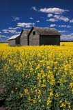 CAL FAR MIS SK     1704621D  VTGRANARIES IN CANOLA FIELDERWOOD                            0717© CLARENCE W. NORRIS      ALL RIGHTS RESERVEDBUILDINGS;BULLETINS;CAL_FARMING;CALENDARS;CANOLA;CROPS;ERWOOD;FARMING;GRANARIES;PLAINS;PRAIRIES;RURAL;SASKATCHEWAN;SCENES;SK_;STRUCTURES;SUMMER;VTLLONE PINE PHOTO              (306) 683-0889