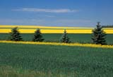 CAL FAR MIS SK     1704305DSTRIPS OF SUMMER COLOURZENON PARK                       0717© CLARENCE W. NORRIS      ALL RIGHTS RESERVEDCAL_FARMING;CALENDARS;CANOLA;CROPS;FARMING;FIELDS;PATTERNS;PLAINS;PRAIRIES;RURAL;SASKATCHEWAN;SCENES;SHELTERBELTS;SK_;SUMMER;ZENON_PARKLONE PINE PHOTO              (306) 683-0889