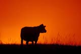 CAL FAR MIS SK     1705501DCOW AGAINST TWILIGHT ON GRAZING LANDGREAT SANDHILLS                0723© CLARENCE W. NORRIS       ALL RIGHTS RESERVEDCAL_FARMING;CALENDARS;CATTLE;FILTER;GREAT_SANDHILLS;LIVESTOCK;PLAINS;PRAIRIES;RANCHING;RURAL;SASKATCHEWAN;SCENES;SK_;SUMMER;SUNSETS;TWILIGHTLONE PINE PHOTO               (306) 683-0889