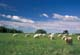 CHAROLAIS CATTLE IN SUMMER PASTURE, ROSSBURN