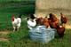 CHICKENS FEEDING AT WASHTUB, UKRAINIAN CULTURAL VILLAGE, EDMONTON