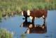 COW AND CALF IN WATER HOLE, DEWAN CREEK, GLASLYN