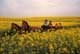 HORSE DRAWN CARRIAGE TRAVELING THROUGH CANOLA, ST. DENIS