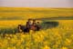 HORSE DRAWN CARRIAGE TRAVELLING THROUGH CANOLA, ST. DENIS
