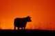 COW AGAINST TWILIGHT ON GRAZING LAND, GREAT SANDHILLS
