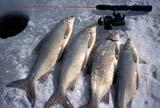 CAL FIS MIS  AB  DSR1000129DA CATCH OF LARGE WHITE FISH NEAR ICE FISHING HOLEALBERTA                              03..© DUANE S. RADFORD          ALL RIGHTS RESERVEDAB_;ALBERTA;CAL_FISHING;CALENDARS;FISH;FISHING;ICE_FISHING;PARKLAND;SPORTS;WHITEFISH;WINTERLONE PINE PHOTO              (306) 683-0889