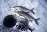 CAL FIS MIS  AB  DSR1000196DWHITEFISH NEAR FISHING HOLE IN ICEWABAMUN LAKE                  02..© DUANE S. RADFORD          ALL RIGHTS RESERVEDAB_;ALBERTA;CAL_FISHING;CALENDARS;FISH;FISHING;ICE_FISHING;PARKLAND;WABAMUN_LAKE;WHITEFISH;WINTERLONE PINE PHOTO              (306) 683-0889