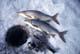 WHITEFISH NEAR FISHING HOLE IN ICE, WABAMUN LAKE