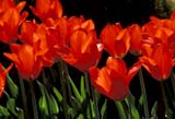 CAL FLO DOM ON  LDL1000054DBACKLIT TULIPS, HOLLAND'S GLORYPORT PERRY                       ....© L. DIANE LACKIE               ALL RIGHTS RESERVEDCAL_FLOWERS;CALENDARS;CENTRAL;DOMESTIC;FLOWERS;ON_;ONTARIO;PORT_PERRY;SPRING;TULIPSLONE PINE PHOTO              (306) 683-0889