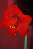 CAL FLO DOM ON  LDL1000062D  VTAMARYLLISLUDWIG'S GOLIATNPORT PERRY                       ....© L. DIANE LACKIE               ALL RIGHTS RESERVEDAMARYLLIS;BULLETINS;CAL_FLOWERS;CALENDARS;DOMESTIC;FLOWERS;ON_;ONTARIO;PORT_PERRY;SPRING;VTLLONE PINE PHOTO              (306) 683-0889