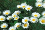CAL FLO WIL  ON  LDL1000149DWILD DAISIESONTARIO                             04..© L. DIANE LACKIE                ALL RIGHTS RESERVEDBLUR;CAL_FLOWERS;CALENDARS;CENTRAL;DAISIES;DOMESTIC;FLOWERS;GARDEN;ON_;ONTARIO;SPRING;WILD_DAISY;ZOOMLONE PINE PHOTO              (306) 683-0889