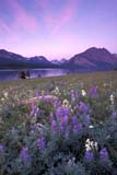 CAL FLO WIL  AB  REH1000782D  VTVIMY MOUNTAIN AND LUPINESWATERTON LAKES NAT PK             08..© ROYCE HOPKINS                    ALL RIGHTS RESERVEDAB_;ALBERTA;ALPINE;BULLETINS;CAL_FLOWERS;CALENDARS;CORDILLERA;FLOWERS;LUPINES;MEADOW;MOUNTAINS;NP_;SCENES;SUMMER;VIMY_MOUNTAIN;VTL;WATERTON_LAKES_NP;WILDFLOWERSLONE PINE PHOTO              (306) 683-0889