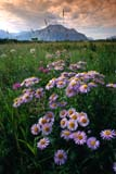 CAL FLO WIL AB  REH1000783D  VTASTERS AND MOUNTAINSWATERTON LAKES NATIONAL PARK    08..© ROYCE HOPKINS                        ALL RIGHTS RESERVEDAB_;ALBERTA;ALPINE;ASTERS;BULLETINS;CAL_FLOWERS;CALENDARS;CORDILLERA;FLOWERS;MEADOWS;MOUNTAINS;NP_;SCENES;SUMMER;VTL;WATERTON_LAKES_NP;WILDFLOWERSLONE PINE PHOTO                  (306) 683-0889