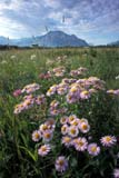 CAL FLO WIL  AB  REH1000784D  VTASTERS AND MOUNTAINSWATERTON LAKES NATIONAL PARK  08..© ROYCE HOPKINS                    ALL RIGHTS RESERVEDAB_;ALBERTA;ALPINE;ASTERS;BULLETINS;CAL_FLOWERS;CALENDARS;CORDILLERA;FLOWERS;MEADOWS;MOUNTAINS;NP_;SCENES;SUMMER;VTL;WATERTON_LAKES_NP;WILDFLOWERSLONE PINE PHOTO              (306) 683-0889