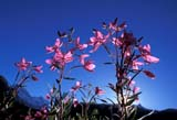 CAL FLO WIL  AB  REH1000332DBACKLIT FIREWEED AGAINST SKYBANFF NAT PK                      08..© ROYCE HOPKINS              ALL RIGHTS RESERVEDAB_;ALBERTA;ALPINE;BACK-LIGHT;BANFF_NP;CAL_FLOWERS;CALENDARS;CORDILLERA;FIREWEED;FLOWERS;NP_;SUMMER;WILDFLOWERSLONE PINE PHOTO              (306) 683-0889