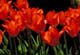 BACKLIT TULIPS, HOLLAND'S GLORY, PORT PERRY
