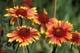 BLANKET FLOWERS, CALGARY ZOO, CALGARY
