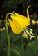 YELLOW GLACIER LILY, GLACIER NATIONAL PARK