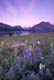 VIMY MOUNTAIN AND LUPINES, WATERTON LAKES NATIONAL PARK