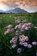 ASTERS AND MOUNTAINS, WATERTON LAKES NATIONAL PARK