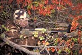 CAL HUN MIS  SK     1617119D  MR#287-288MAN IN CAMO, CROSSBOW IN FALL BUSHIN AUTUMN ASPENS LANGHAM                            0921© CLARENCE W. NORRIS      ALL RIGHTS RESERVEDACTIVITIES;ADULTS;ARCHERY;ARROWS;AUTUMN;BUSHES;CAL_HUNTING;CALENDARS;CAMOUFLAGE;CROSSBOWS;FOREST;HUNTING;LANGHAM;MALE;MICHAEL;MR_;OUTDOORS;PEOPLE;SASKATCHEWAN;SCENES;SK_;WEAPONSLONE PINE PHOTO              (306) 683-0889
