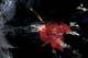 RED MAPLE LEAF IN STREAM, NEW BRUNSWICK