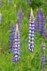 SPOTTED LUPINES, HOLYROOD