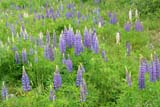CAL SUM SCE  NL  MTT05B3151DX BLUE LUPINES HOLYROOD                        06..© MIKE TOBIN                     ALL RIGHTS RESERVEDATLANTIC;CAL_NL;CALENDARS;EAST_COAST;FLOWERS;HOLYROOD;LUPINES;MARITIMES;NEWFOUNDLAND;NL_;SCENES;SUMMER;WILDFLOWERSLONE PINE PHOTO              (306) 683-0889