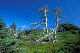 CAL AUT SCE  NS  CRS0000239D     SKELETON TREES ON SHORETAYLOR HEAD PROV PK     10/..© CLIFF SANDESON            ALL RIGHTS RESERVEDATLANTIC;AUTUMN;CAL_NS;CALENDARS;EAST_COAST;MARITIMES;NOVA;NOVA_SCOTIA;NS_;PP_;SCENES;SCOTIA;TAYLOR_HEAD_PP;TREESLONE PINE PHOTO             (306) 683-0889