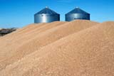 CAL AUT SCE  SK     1103315BDGRAIN PILES AND GRANARIESHILL FARMLANCER FERRY                     09/24© CLARENCE W. NORRIS      ALL RIGHTS RESERVEDAUTUMN;CAL_SK;CALENDARS;CROPS;FARMING;GRAIN;HILL_FARM;LANCER_FERRY;GRANARIES;HARVEST;PLAINS;PRAIRIES;SASKATCHEWAN;SK_ LONE PINE PHOTO              (306) 683-0889