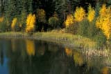 CAL AUT SCE  SK     1115427DFALL SHORELINE AND REFLECTIONSWASKESIU RIVERPRINCE ALBERT NAT. PK                             09/30© CLARENCE W. NORRIS      ALL RIGHTS RESERVEDAUTUMN;BOREAL;CAL_SK;CALENDARS;NP_;PARKLAND;PRINCE_ALBERT_NP;RIVERS;SASKATCHEWAN;SK_;WASKESIU_RIVER;WATER LONE PINE PHOTO              (306) 683-0889