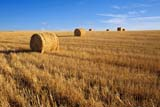 CAL AUT SCE  SK     1308707ADROUND BALES IN FALL STUBBLEREDBERRY LAKE                  10/23© CLARENCE W. NORRIS      ALL RIGHTS RESERVEDAUTUMN;BALES;CAL_SK;CALENDARS;CROPS;FARMING;FIELDS;REDBERRY_LAKE;ROUND;RURAL;SASKATCHEWAN;SCENES;SK_;STRAW;STUBBLELONE PINE PHOTO              (306) 683-0889