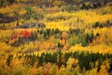 CAL AUT SCE  YT  PEH1000027DALPINE FALL COLOURSLAKE LABERGEYUKON                               09..© PHIL HOFFMAN                ALL RIGHTS RESERVEDALPINE;AUTUMN;CAL_YT;CALENDARS;CONTRAST;CORDILLERA;FOREST;LAKE_LABERGE;MIXED_FOREST;SCENES;YT_;YUKONLONE PINE PHOTO              (306) 683-0889