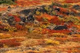 CAL AUT SCE  YT  PEH1000026DALPINE FALL COLOURSHAECKEL HILLYUKON                               09..© PHIL HOFFMAN                ALL RIGHTS RESERVEDALPINE;AUTUMN;CAL_YT;CALENDARS;CORDILLERA;GEOGRAPHY;HAECKEL_HILL;HILLS;SCENES;YT_;YUKONLONE PINE PHOTO              (306) 683-0889