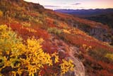 CAL AUT SCE  YT  PEH1000033DGOLDEN WILLOW AND AUTUMN COLOURSHAECKEL HILLYUKON                               09..© PHIL HOFFMAN                ALL RIGHTS RESERVEDAUTUMN;CAL_YT;CALENDARS;COLOURS;CORDILLERA;DWARF;HAECKEL_HILL;SCENES;WILLOWS;YT_;YUKONLONE PINE PHOTO              (306) 683-0889