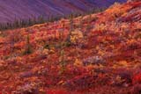 CAL AUT SCE  YT  PEH1000189DFALL TUNDRAOGILVIE MOUNTAINSYUKON                               09/..© PHIL HOFFMAN                ALL RIGHTS RESERVEDALPINE;AUTUMN;CAL_YT;CALENDARS;COLOURS;CORDILLERA;GEOGRAPHY;MOUNTAINS;OGILVIE_MOUNTAINS;SCENES;TUNDRA;YT_;YUKONLONE PINE PHOTO              (306) 683-0889