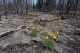 ELE FIR FOR  MB  IAW1403421DALPINE ARNICA IN BURNT AREA(ARNICA ALPINA)TWIN LAKES                         07© IAN A. WARD                    ALL RIGHTS RESERVEDALPINE_ARNICA;ARNICA;BOREAL;ELEMENTS;FIRE;FLOWERS;FOREST;FOREST_FIRES;MANITOBA;MB_;SCENES;SHIELD;SUMMER;TWIN_LAKES;WILDFLOWERSLONE PINE PHOTO              (306) 683-0889