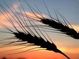ELE SUN SET  SK  CWN02D3238D BEARDED WHEAT AGAINST TWILIGHT SKYSASKATOON                          09/. .© CLARENCE W. NORRIS          ALL RIGHTS RESERVEDCROPS;ELEMENTS;FARMING;FOOD;GRAIN;PLAINS;PRAIRIES;SASKATCHEWAN;SASKATOON;SILHOUETTE;SK_;SKY;TWILIGHT;WHEATLONE PINE PHOTO                  (306) 683-0889