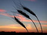 ELE SUN SET  SK  CWN02D3268DBEARDED WHEAT AGAINST TWILIGHT SKYSASKATOON                          09/. .© CLARENCE W. NORRIS          ALL RIGHTS RESERVEDCROPS;ELEMENTS;FARMING;FOOD;GRAIN;PLAINS;PRAIRIES;SASKATCHEWAN;SASKATOON;SILHOUETTE;SK_;SKY;TWILIGHT;WHEATLONE PINE PHOTO                  (306) 683-0889