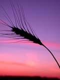 ELE SUN SET  SK  CWN02D3304D   VTBEARDED WHEAT AGAINST TWILIGHT SKYSASKATOON                          09/. .© CLARENCE W. NORRIS          ALL RIGHTS RESERVEDCROPS;ELEMENTS;FARMING;FOOD;GRAIN;PLAINS;PRAIRIES;SASKATCHEWAN;SASKATOON;SILHOUETTE;SK_;SKY;TWILIGHT;VTL;WHEATLONE PINE PHOTO                  (306) 683-0889