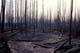 FIRE-CHARRED TREES, MINTO LANDING
