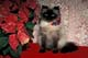 SILVER PERSIAN CAT WITH POINSETTIA, PORT PERRY