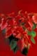 SOFT FOCUS RED AND WHITE PICOTEE POINSETTIA, PORT PERRY