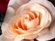 DEW ON SILK ROSES, SALMON ARM