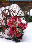 EVE CHR MIS  ON     2100607D  VT     WILLOW CHAIR AND POINSETTIAS IN SNOWELORA                                01/..© CLARENCE W. NORRIS      ALL RIGHTS RESERVEDBULLETINS;CENTRAL;CHRISTMAS;DECORATIONS;ELORA;EVENTS;ON_;ONTARIO;POINSETTIAS;VTL;WILLOWLONE PINE PHOTO              (306) 683-0889