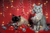 EVE CHR MIS  ON  LDL1000275D     SILVER PERSIAN AND HIMALAYAN SEALPOINT CATS WITH LIGHTSPORT PERRY                       12/..© L. DIANE LACKIE                ALL RIGHTS RESERVEDANIMALS;CATS;CHRISTMAS;EVENTS;HIMALAYAN_CAT;HOLIDAYS;LIGHTS;ON_;ONTARIO;PERSIAN_CAT;PETS;PORT_PERRY;SILVER_PERSIAN_CATLONE PINE PHOTO              (306) 683-0889
